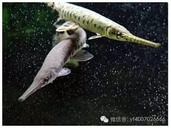 招财猫   体长可达60-80CM   饲养水温22-28度,以荤为主   对水质要求图片