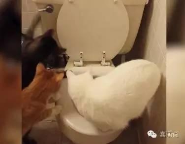 三只好奇猫咪研究马桶,最终破解冲水方法!-蠢萌说