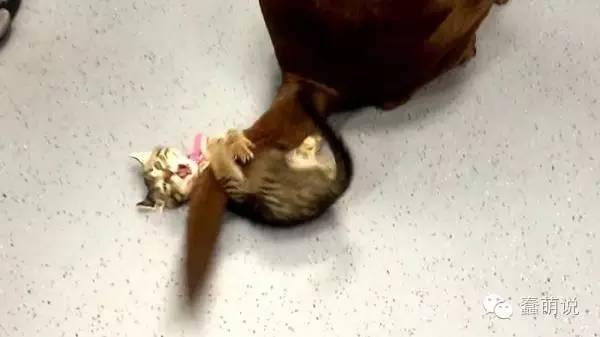 活体逗猫棒!小猫拼了吃奶的力抓住拉拉尾巴-蠢萌说