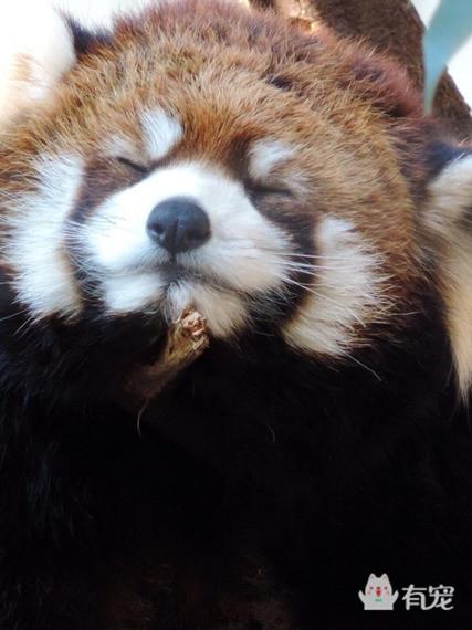 小熊猫系列表情收的表情包图片