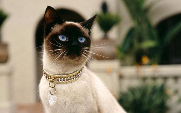 萌宠图片第79期 暹罗猫