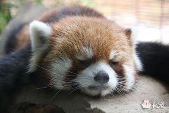 小熊猫系列表情大全包表情可爱猪图片