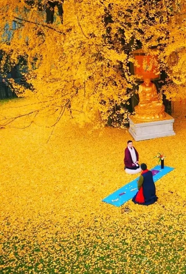 唐太宗种了一棵银杏树,1400年后惊艳了全世界