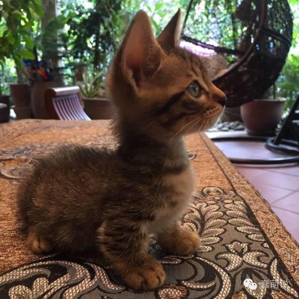 曼切堪短腿猫才是这个地球上最纯最萌的生物!-蠢萌说