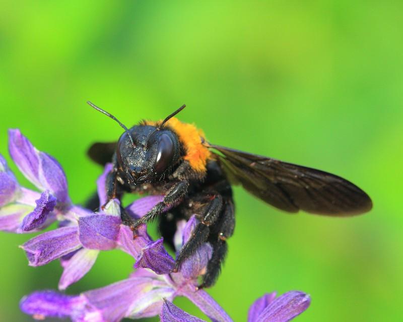 大黑鸡吧愺`/:)�h�_由于新疆黑蜂的体型大,飞行高度高,采蜜半径大,可采集到天山高海拔