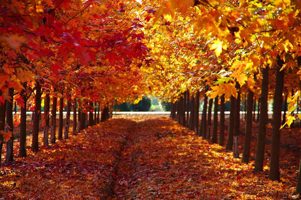 08.廊下郊野公园 感受成片的红色枫叶图片