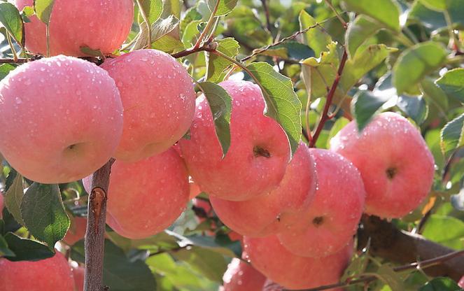 苹果酒的功效: 1、自制苹果酒中有保留了苹果中的大部分营养成分,而且酒清度数比较低,人们饮用以后可以吸收多种营养成分,能通经活络,对骨关节疾病有一定的缓解功效,对提高身体健康水量作用明显。 2、自制苹果酒中有多种氨基酸存在,其中有八种是人体不能自行合成的氨基酸与分,另外自制苹果酒中还有多种维生素存在,特别是维生素B和维生素C的含量都很高,这些物质进入人体以后,可以加快人体免疫细胞的再生,减少细胞的病变,对提高身体免疫能力作用明显。 3、自制苹果酒可以减肥,它里面有一种独特的酸性成分,那就是丙酮酸,这种物
