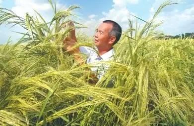 水稻能养活众多人口_水稻养人,却还有很多人不知道它的妙用,是不是感觉白吃