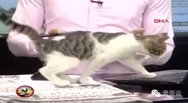 小猫擅闯新闻台当主播,最后还直接躺在电脑上呼呼大睡!-蠢萌说