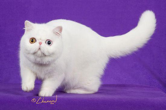 加菲猫生小猫的存活率图片