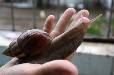 非洲大蜗牛鳄鱼复仇图片