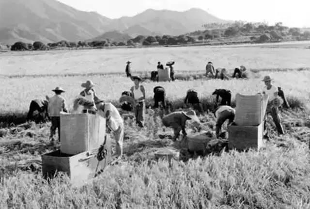 菏泽粮库7人掩埋-人们正在晾晒农作物. 1976年7月,在公社猪舍旁边的两名女性知青...图片 41168 640x431