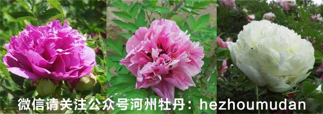 非洲菊叶子为什么会腐烂图片