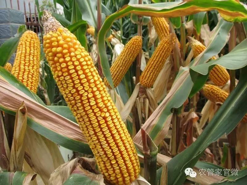 国家或再给玉米两项补贴(附最新玉米价格)