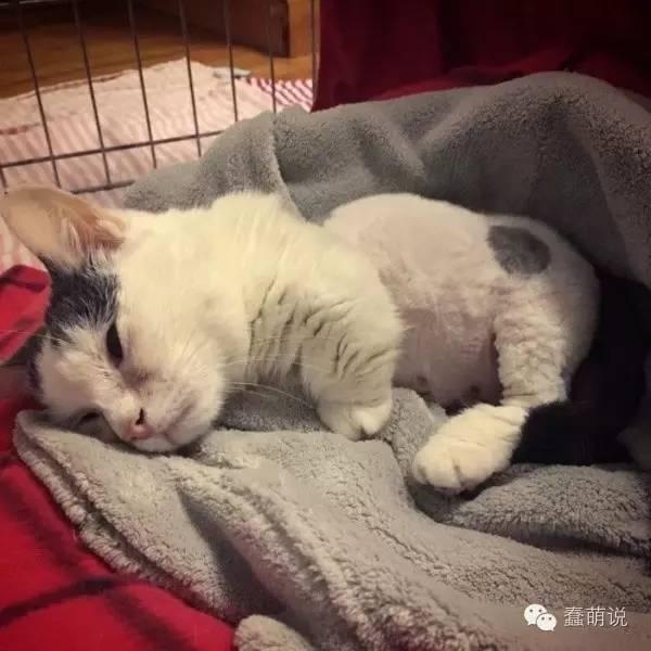 二岁全盲猫咪身型如二个月小猫依旧乐观积极生活!-蠢萌说