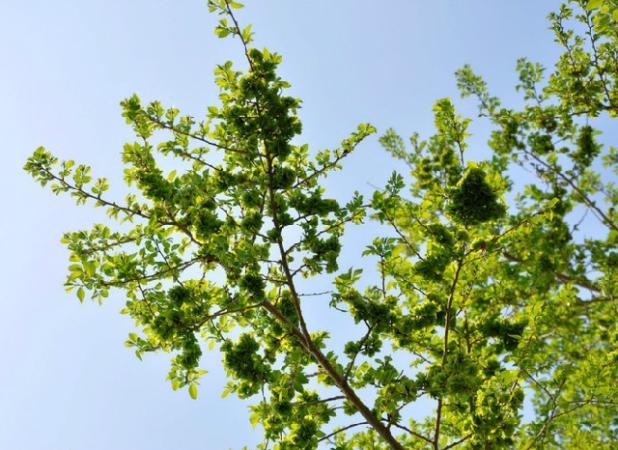 好看的树-榆树