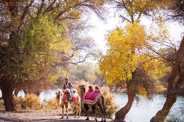深秋大漠,去新疆巴楚赏最美胡杨林 - 寒残一叶 - 寒残一叶的博客
