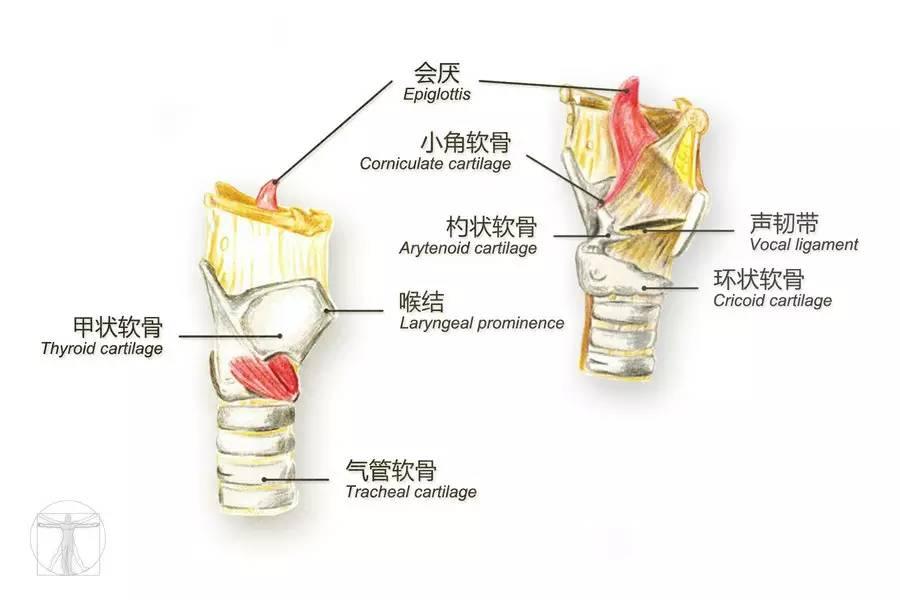 咽喉解剖结构英文