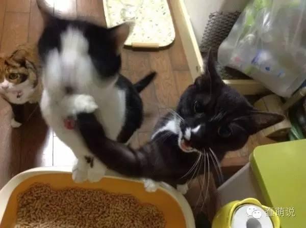 等饭时总被揍,被弟弟欺凌的可怜猫大福!-蠢萌说