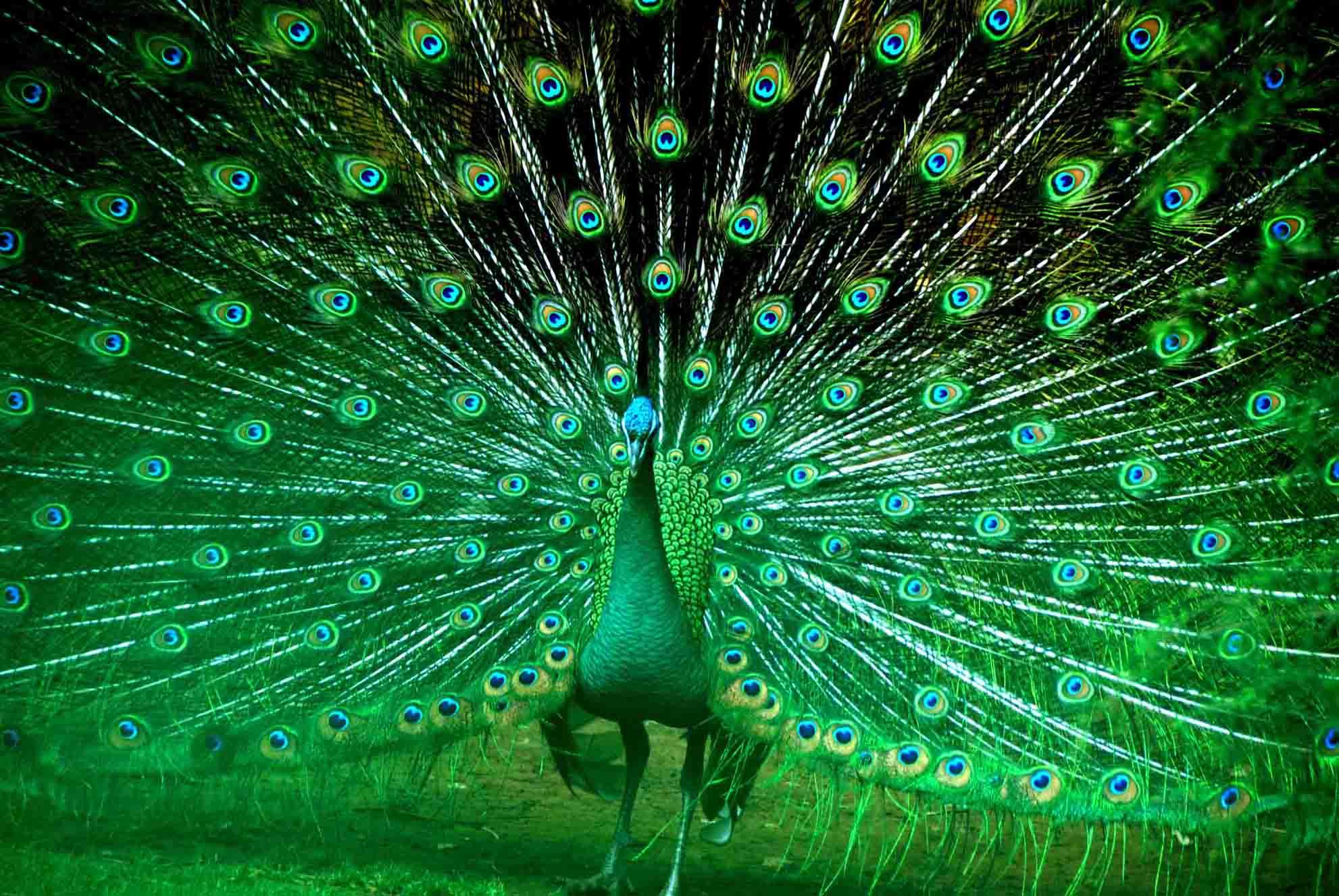 孔雀西南飞:灯光版的孔雀开屏,你见过吗