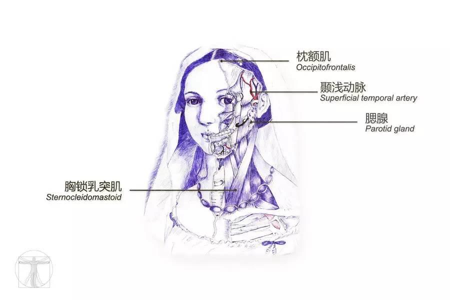 中大图志 | 医学人体解剖手绘:科学与艺术交织的生命真实