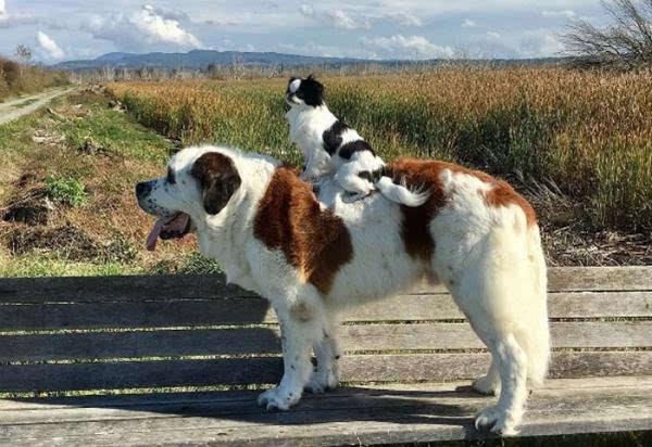 美国有一对感情深厚形影不离的狗兄妹 妹妹特别喜欢骑在哥哥背上出游