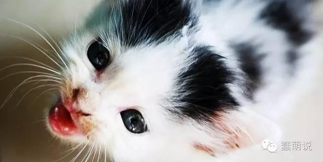 猫咪撒娇的最高境界:无声的喵喵叫!-蠢萌说