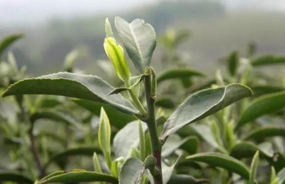 【上海白茶cad2007win732位下载的成长历程,福鼎cadv白茶图片