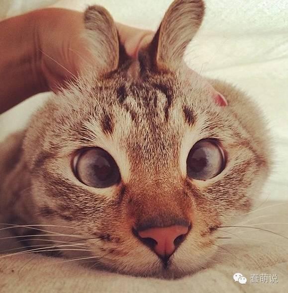 这些天生就有金鱼眼和斗鸡眼的可爱猫咪,自带莫名的喜感!-蠢萌说