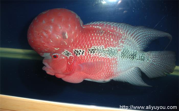 如何分辨罗汉鱼的雄雌呢图片