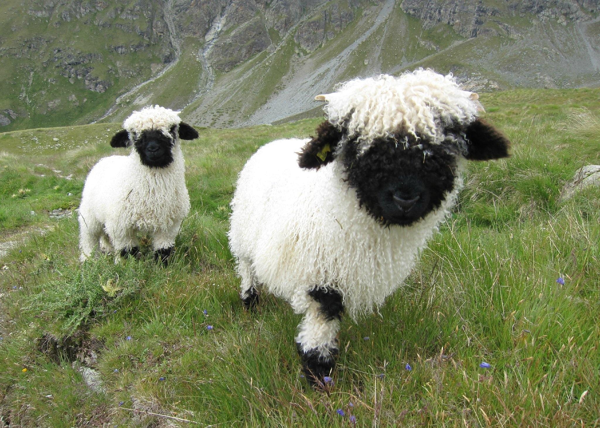 逆袭 草泥马 的萌宠 瓦莱黑鼻羊