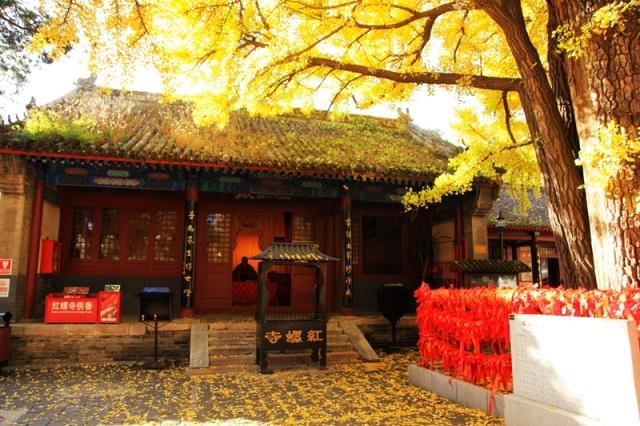 玉镶金银杏树-6日 枫红竹绿银杏黄,红螺寺里来祈福