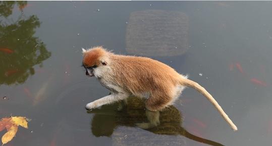 厉害了我的猴 杭州野生动物非洲赤猴变身捕鱼达人