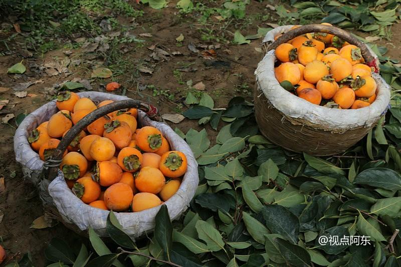 庄里柿子丰收啦!美女们在果园里吃得都乐开了花 - 视点阿东 - 视点阿东