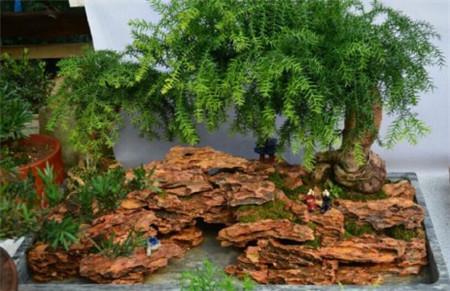 河州牡丹—红豆杉盆景怎么修剪图片