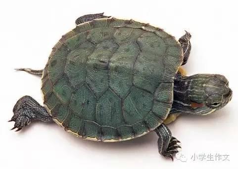 优秀范文 观察乌龟