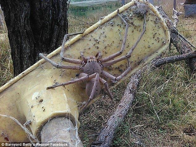 农场惊现巨大蜘蛛 体型罕见吓坏网友