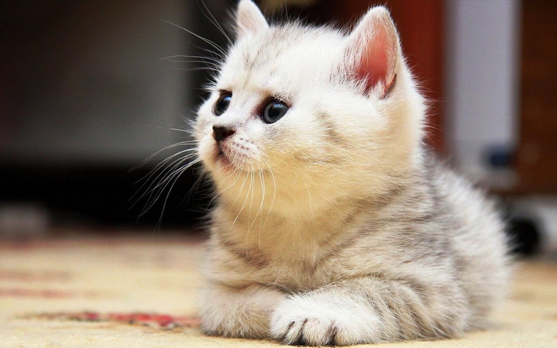 壁纸 动物 猫 猫咪 小猫 桌面 1440_900
