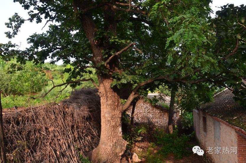 柞木树叶图片欣赏