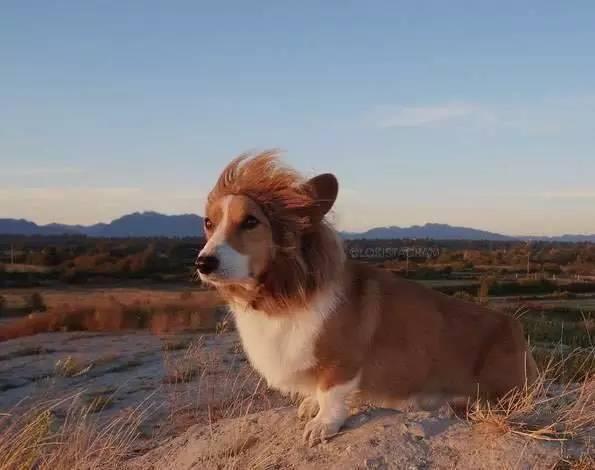 然而大家的努力并没挽留住这个可爱的狗狗,最终Loki在医院中病逝…