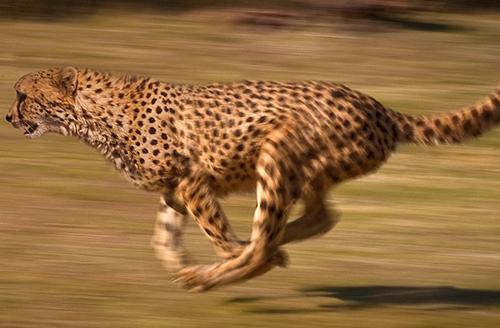 豹 豹子 壁纸 动物 桌面 500_328