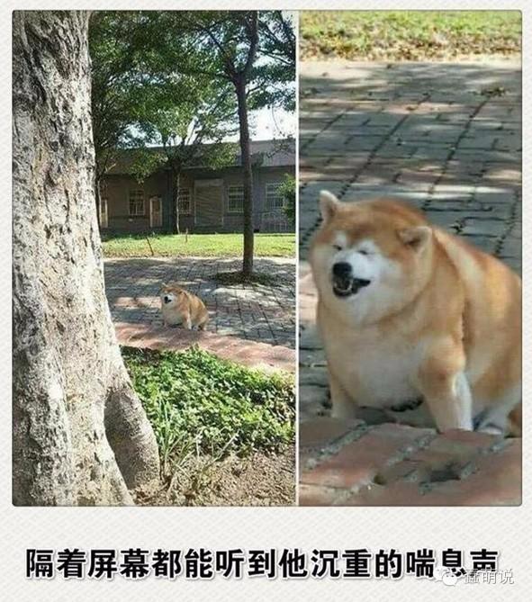 每日一蠢萌:我的老天爷,这柴犬怎么能胖成这样啊!-蠢萌说