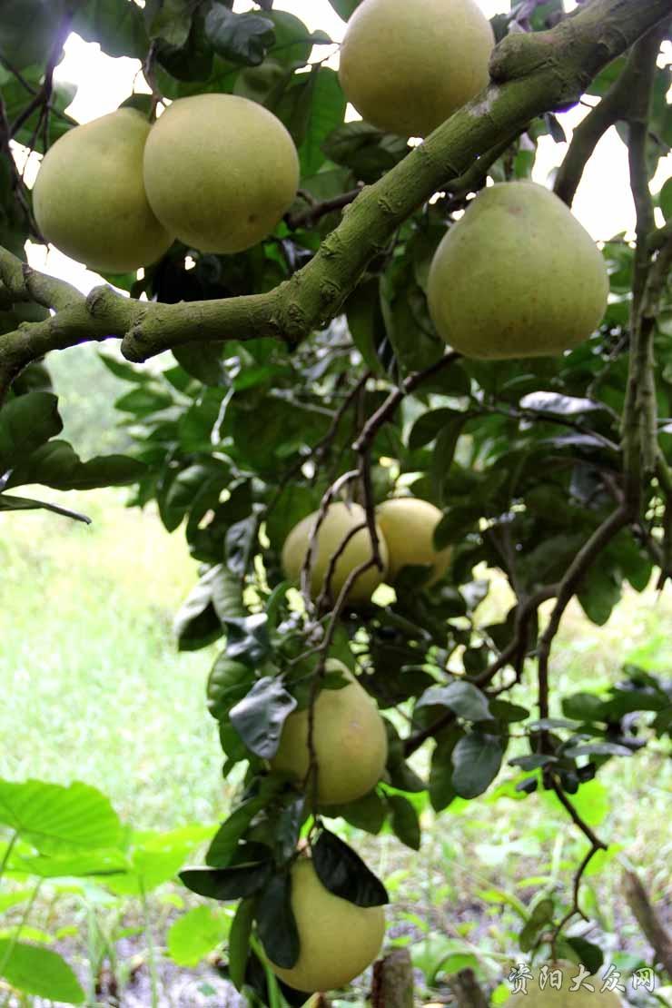 柚子园随拍
