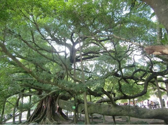 """""""这个区域本就有不少榕树,榕树根系发达,板结显著图片"""