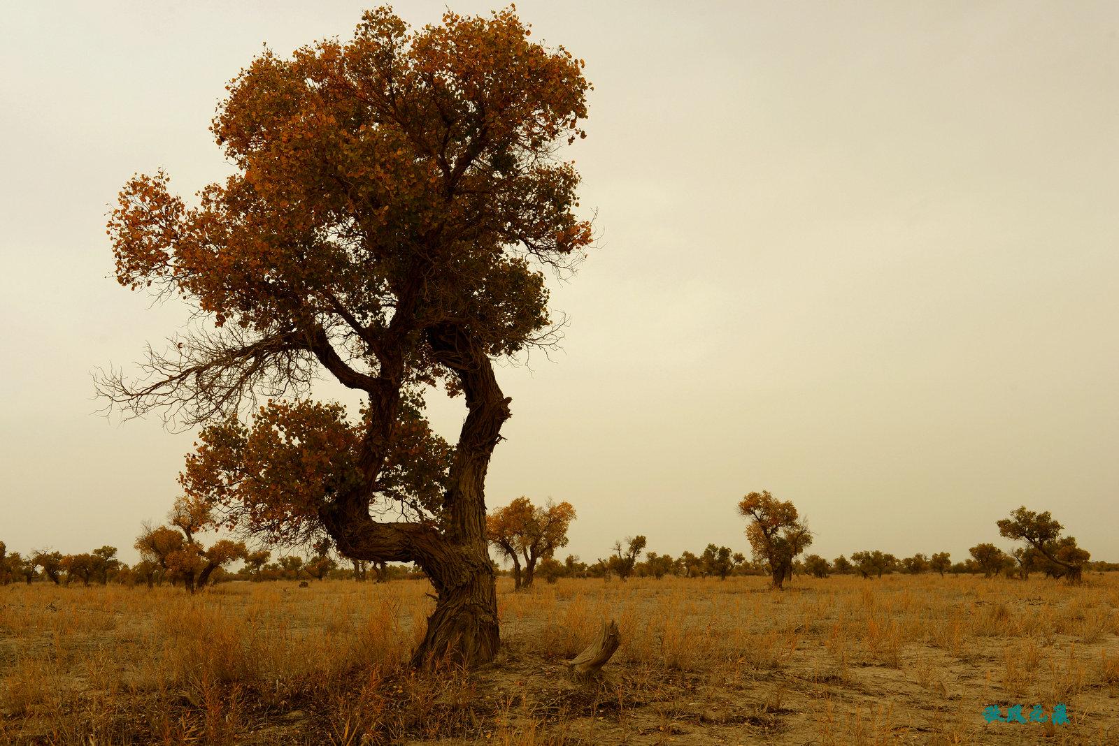 戈壁沙漠有胡杨