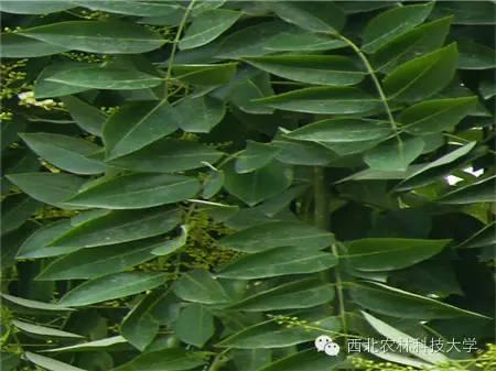 长萼鹿蹄草