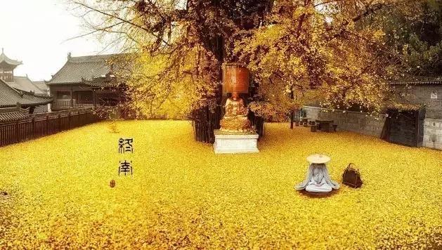 终南山脚下,李世民种了一棵银杏树,美了1400年