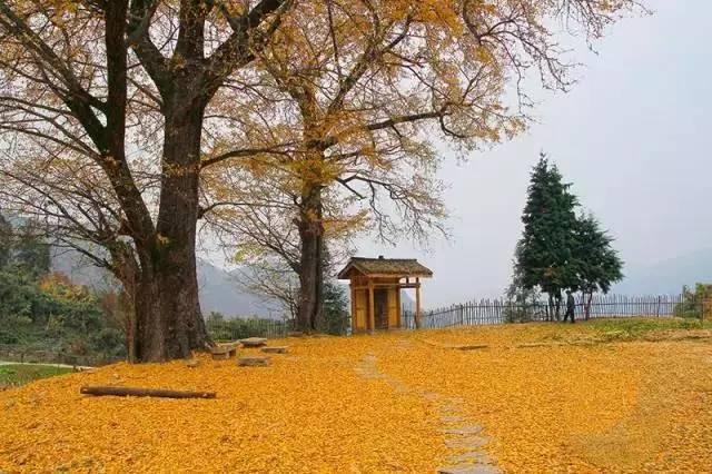银杏渐黄时 湖北这些地方已美成仙境图片