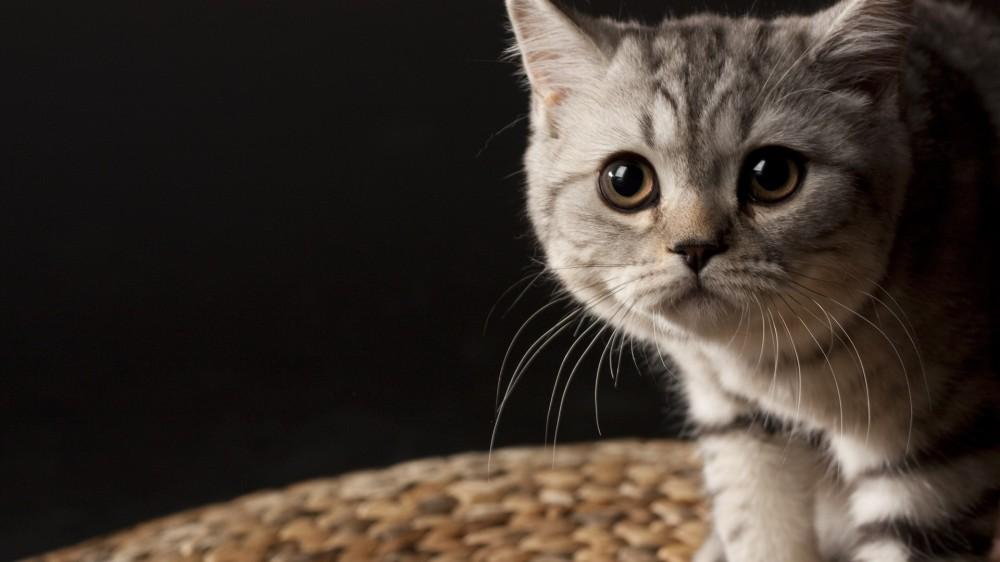 猫真菌皮肤病的症状图片图片