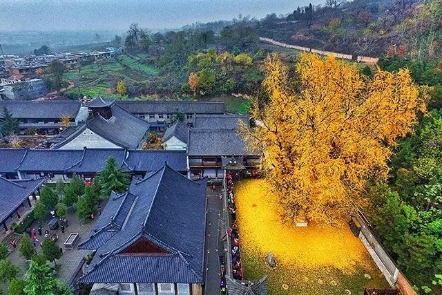 唐太宗李世民种下的一颗银杏树